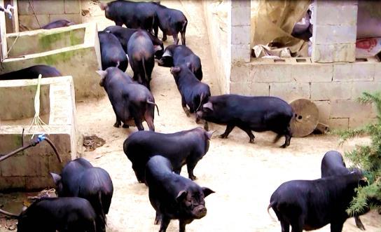 金沙县新化乡青年返乡创业养香猪 助推脱贫奔致富