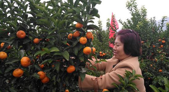 广西永福富硒沙糖桔喜获丰收 成为助民致富甜蜜事业