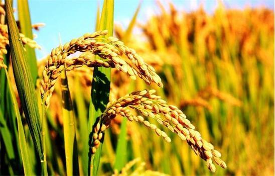 新技术有望让水稻实现高锰低镉