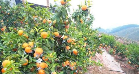 广西上思县打造特色水果产业 带动群众脱贫致富