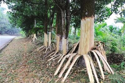 海南定安162棵树遭剥皮获打包急救
