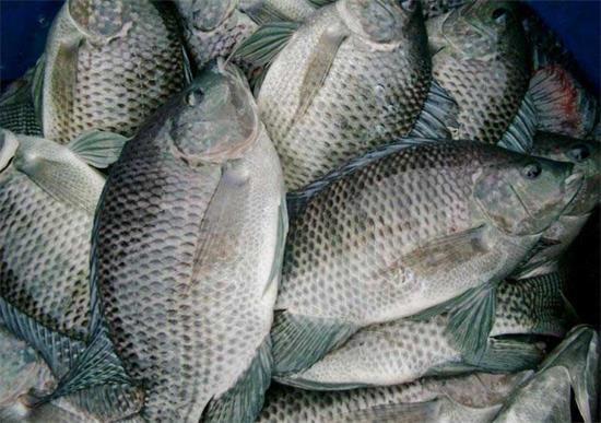 冬季养殖户需注意罗非鱼营养性疾病