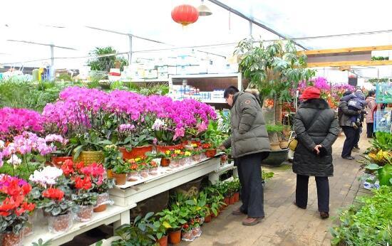 重庆花市为吸引客流 多肉、盆景价格有所降低