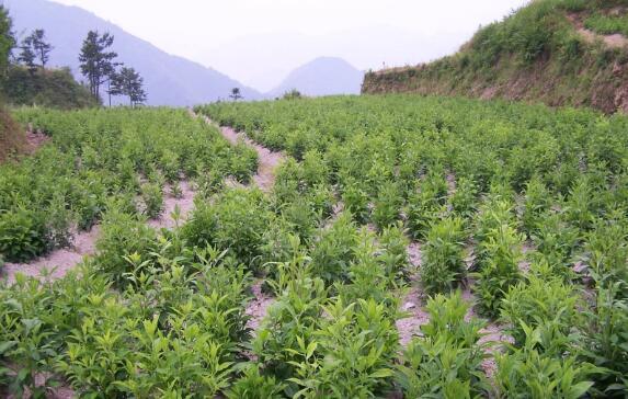 农民种植苍术   开辟致富新路