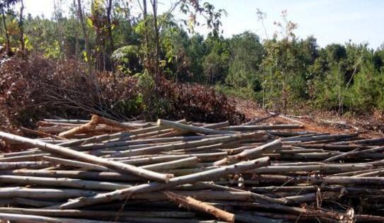 云南景谷破获一起特大滥伐林木案 20亩桉树遭砍伐