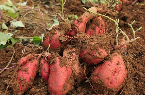 阳泉市半沟红薯获无公害农产品双认证
