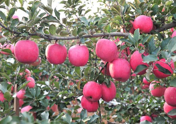 威宁苹果成为果农致富果