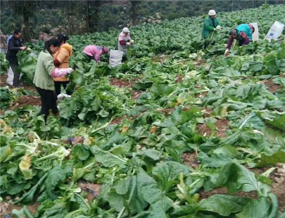 种植青菜头为群众增收致富再添薪招