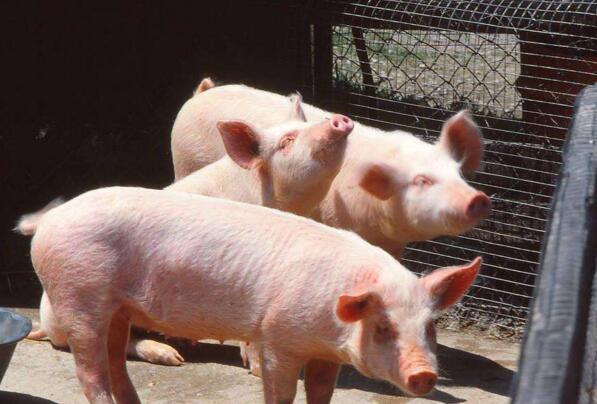 养殖户可适当进行补栏仔猪