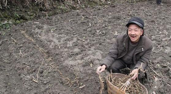 奇葩蔬菜阳荷姜 成了村民致富新门路