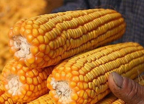 玉米价格涨得高   真的是一件好事吗