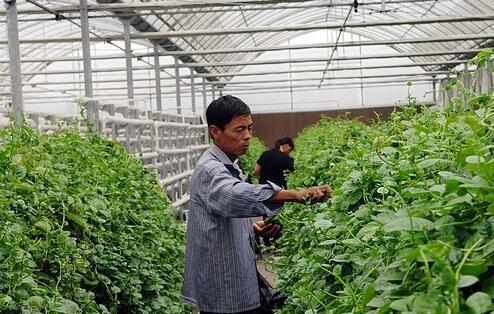 新疆帕米尔高原种植耐盐蔬菜变成致富利器