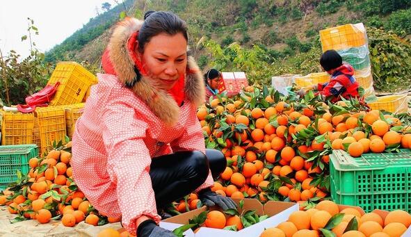 这个果农不走寻常路 种植新果品成百万富姐