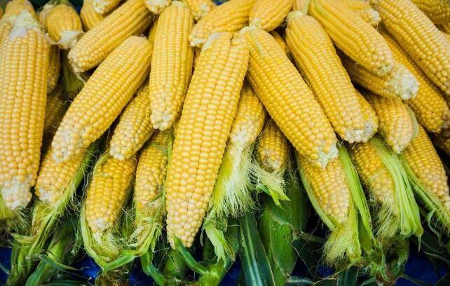 节前玉米购销渐入尾声 美高粱双反调查开启