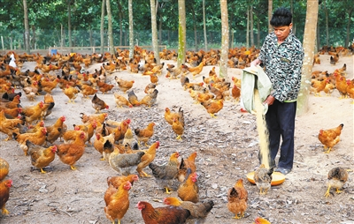 儋州鸡成了贫困户的致富鸡