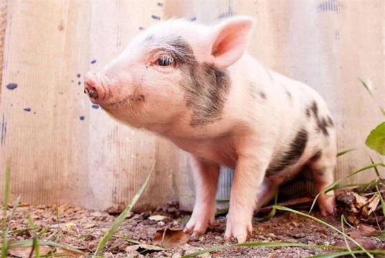 屠企继续压价 猪价和出栏体重同步下行
