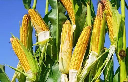 贵州将调减玉米种植面积