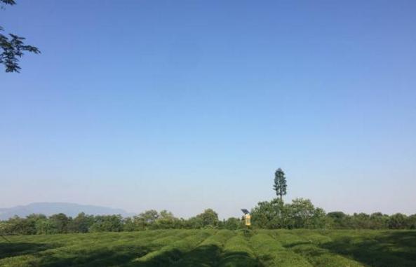 浙江兰溪某茶园