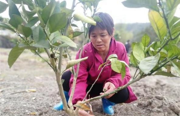 江西瑞金市大柏地乡白坑村农妇周早朗修剪柚子树