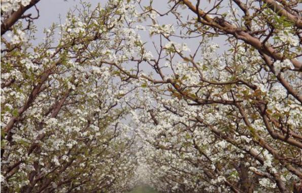 平遥已成功举办了七届梨花旅游节和酥梨采摘节