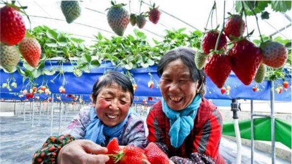 种植户开心地采摘无土栽培的草莓