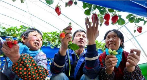 农业技术员正在给种植户讲解无土栽培草莓如何疏果