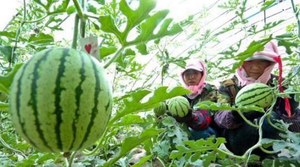 种植户采摘成熟的西瓜