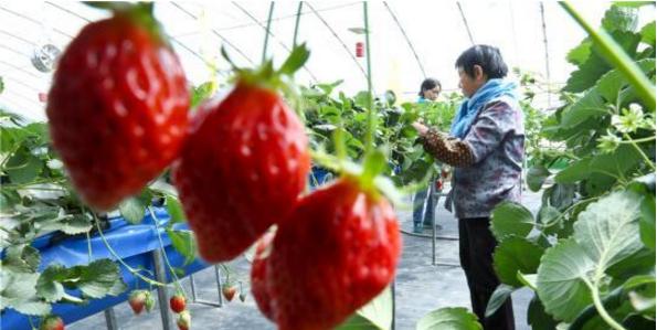 种植户给草莓疏果