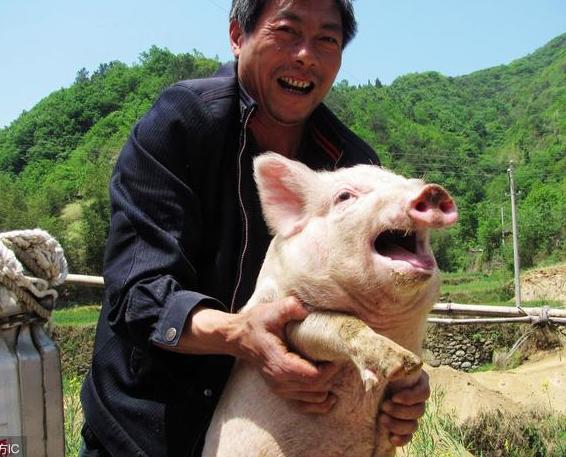 为何现在农村家里养猪的越来越少了?看完后才恍然大悟!