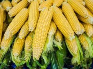 临储玉米成交率暴跌