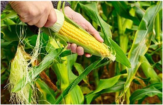 玉米和它一起搭配 开胃健脾效果好