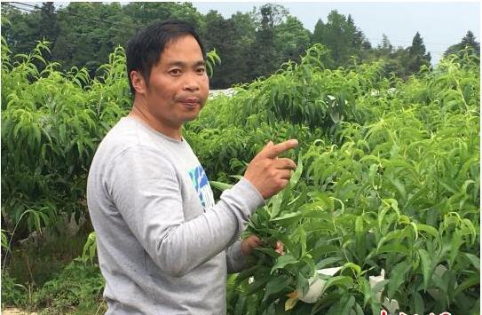 重庆火炉:金融扶贫让一颗桃子改变一个村子