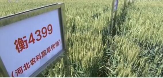 中国小麦育种再突破 7个节水小麦品种发布