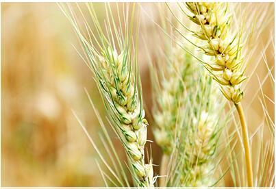 河南:8200万亩小麦已收获146万亩