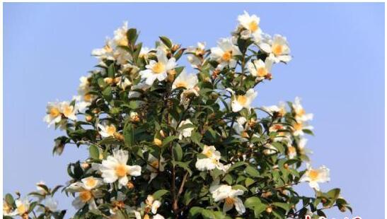 中国多地借油茶产业助农民脱贫  组建油茶扶贫合作社