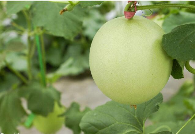 中国农科院集成推广一批甜瓜绿色发展技术