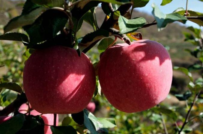 陕西:山地苹果成为农民致富的摇钱树