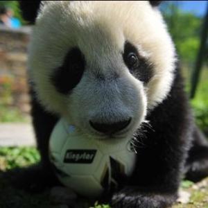 中国大熊猫保护研究中心熊猫玩转世界杯