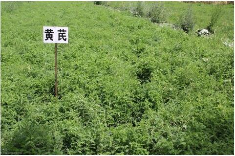 山西:农业绿色发展  万亩中药材拓宽群众致富路