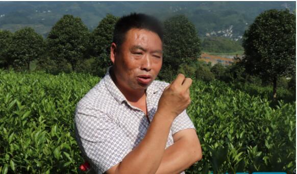 山区白茶致富经:百姓吃上