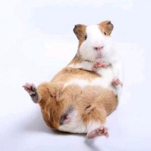 荷兰猪吃什么 荷兰猪的饲养方法