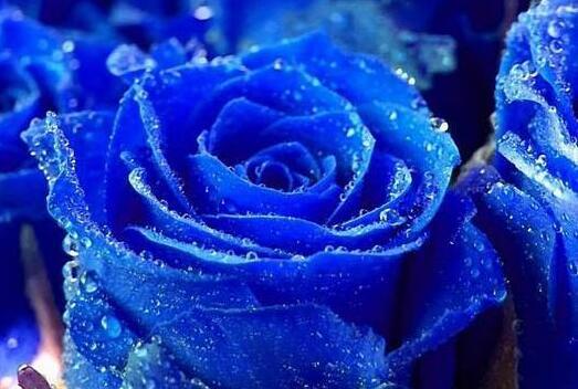 蓝色妖姬的图片 蓝色妖姬多少钱一朵