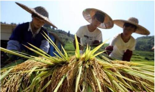 """首个""""中国农民丰收节""""庆典活动将持续约半月"""