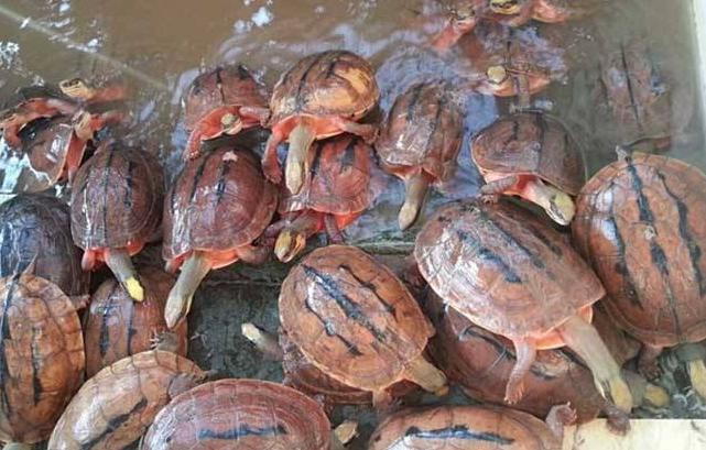 金钱龟的利润分析是怎么样的 养殖成本又是多少呢