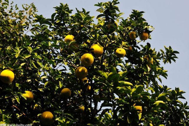 香橼树与香泡树的区别你能分清吗?