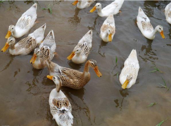 鸭子怎么做才好吃