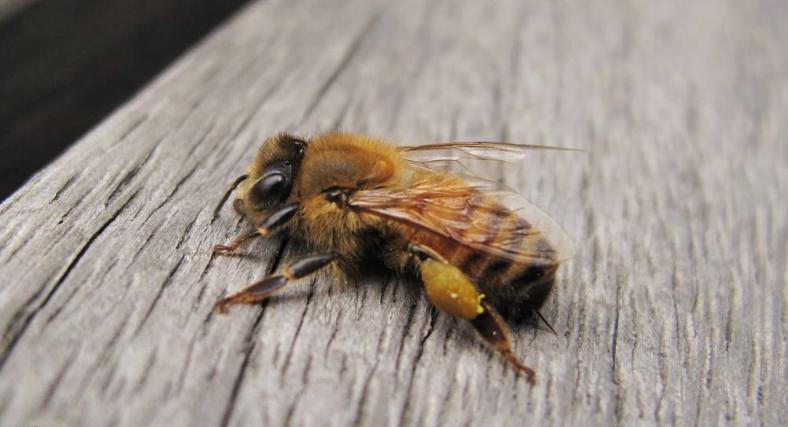 被蜜蜂蛰了怎么处理 有毒吗