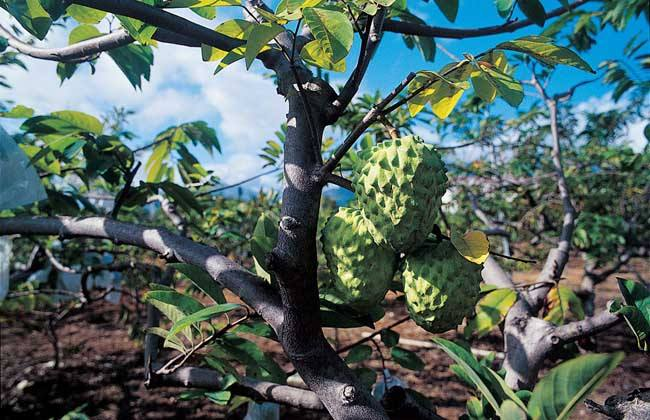 释迦果种植技术与注意事项 释迦果市场有空缺 种植前景良好