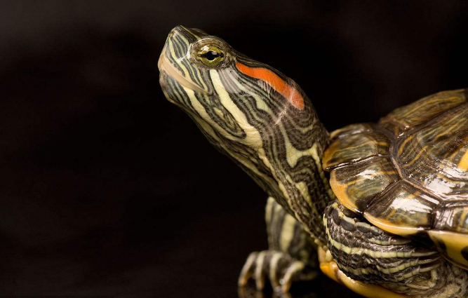 巴西龟怎么养最好 巴西龟的八大常见疾病防治技术