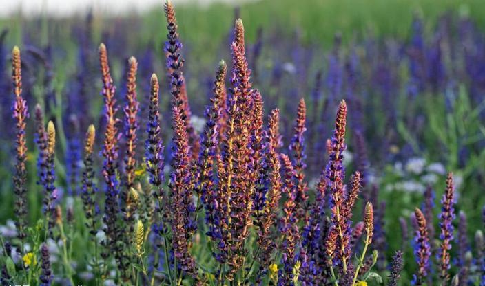 鼠条草和迷迭香的成效和干用的区佩 它们两者的话语伸见